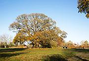 Sweet chestnut tree, Castanea saliva, autumn leaves Woodborough, Wiltshire, England, UK