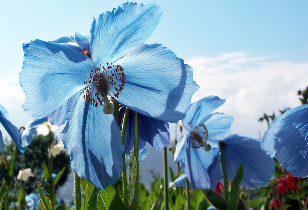 Photograph of Himalayan Blue Poppy flowers taken in Tromso, Norway.