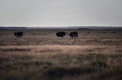 NAMIBIA ETOSHA 30APR14 - Common ostriches feed in the Etosha pan near Namutoni, Etosha National Park, Namibia.<br /> <br /> <br /> <br /> jre/Photo by Jiri Rezac<br /> <br /> <br /> <br /> © Jiri Rezac 2014