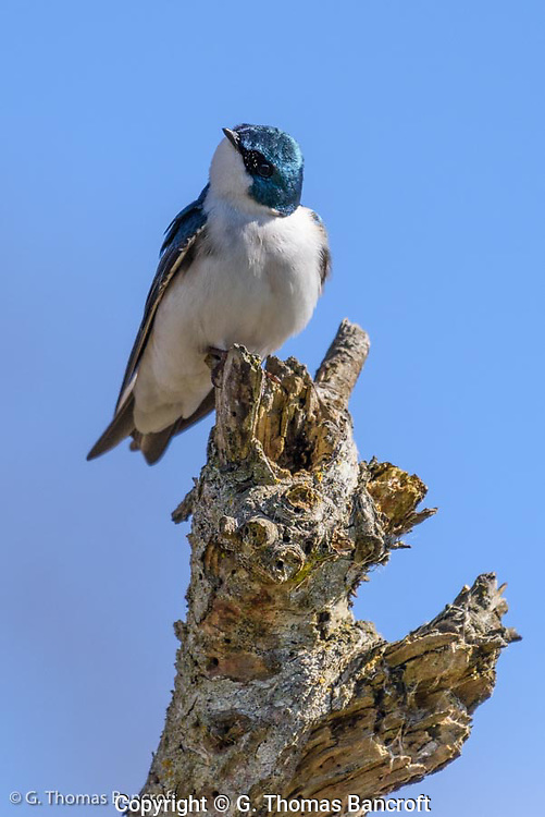 A tree swallow peers down from a perch on a dead snag at Wylie Slough along the Skagit River.