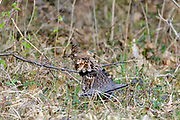Male ruffed grouse in habitat