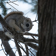This is a species of flying squirrel called Ezo Momonga in Japanese (Pteromys volans orii). It is a sub-species of Siberian flying squirrels that is found on the island of Hokkaido in Japan. These squirrels are primarily nocturnal and usually shy, though the squirrels can occasionally be seen during the day. They prefer to take up residence in holes made by woodpeckers. This individual has just emerged from its hole in a Sakhalin fir tree  (Abies sachalinensis) at dusk, preparing for a night of foraging. Their diet primarily comprises leaves, seeds, cones, buds, sprouts, nuts and berries. This species does not hibernate.