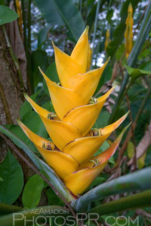 "Native Heliconia of Puerto Rico (""heliconia carbaea""). Caribbean Heliconia; Wild Plantain"
