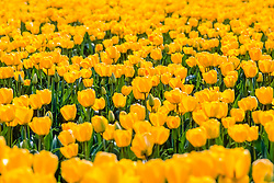 Tulpen geel, Tulipa spec, yellow tulips, Holland, Netherlands