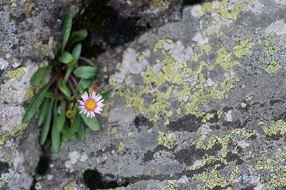 Rhizocarpon geographicum; Map lichen;  Erigeron glabratus, Ruggellerriet, Liechtenstein