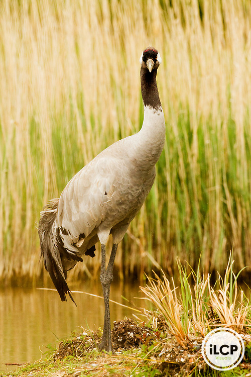 Common Crane (Grus grus) on lakeshore, Bay of Somme, Picardy, France