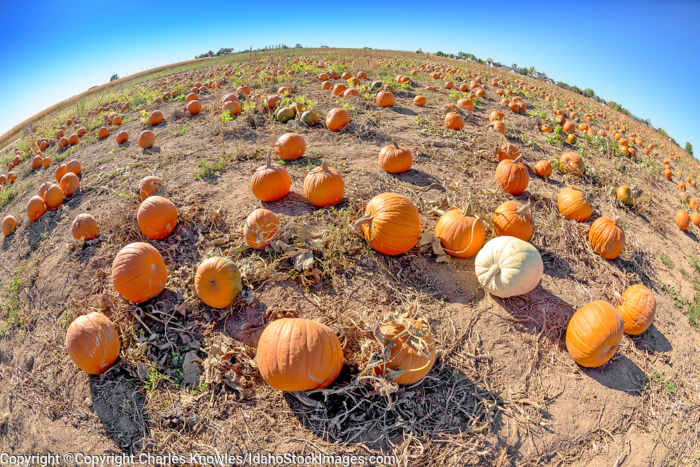 Pumpkin patch in rural Idaho.