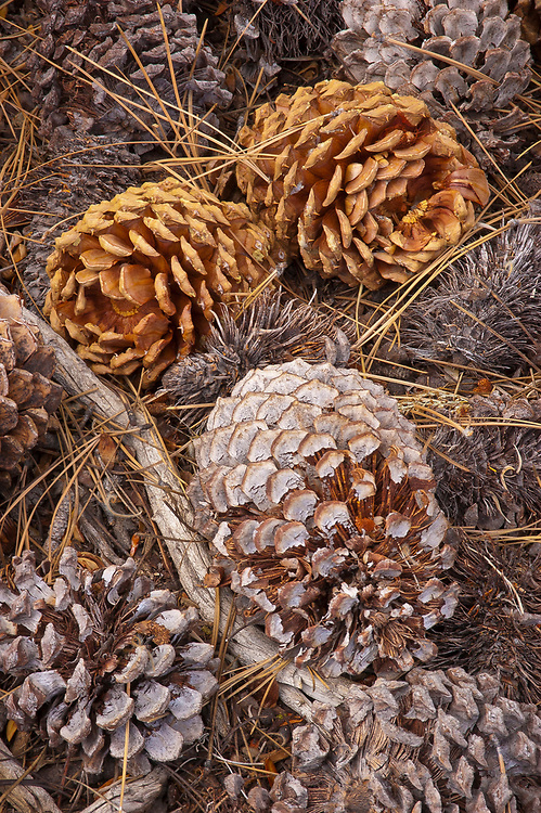 Pine cones on forest floor, Lower Twin Lake, Eastern Sierra Nevada Mountains, California.