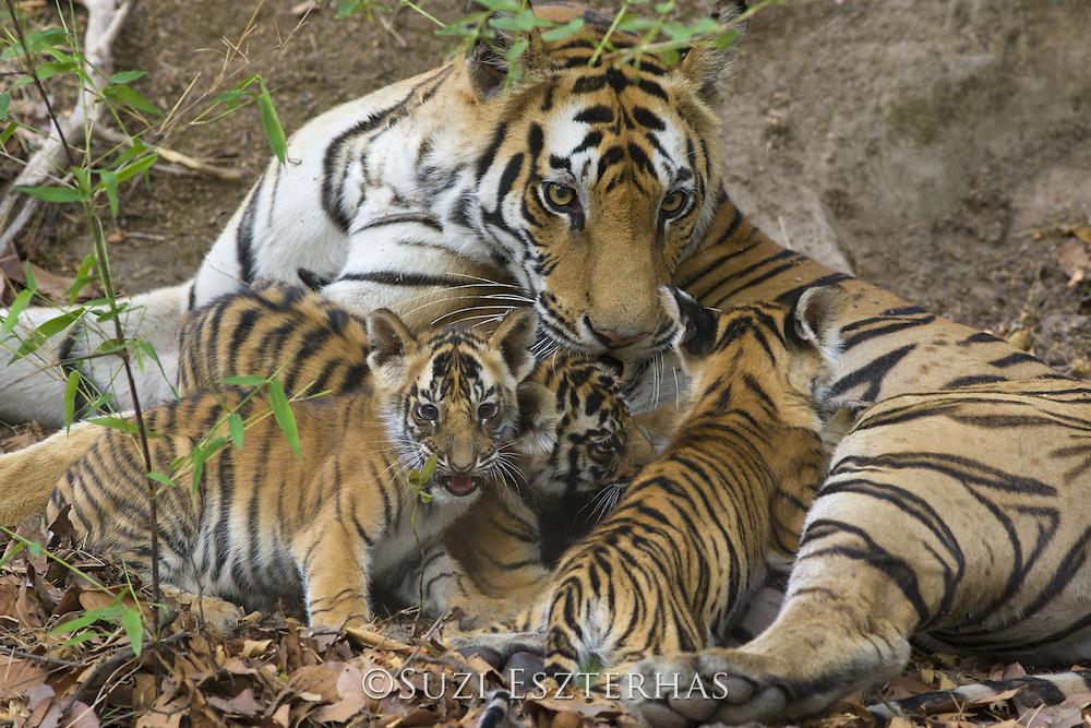Bengal Tiger<br /> Panthera tigris <br /> Mother and eight week old cubs at den <br /> Bandhavgarh National Park, India
