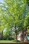 college green, Mapp Athens, summer, Tree Tour, Sweetgum