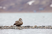 female King Eider at water's edge, Svalbard