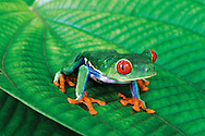 The Red-eyed Tree Frog is possibly the most sought-after and photographed amphibian in the world and it only lives in lowland rainforests of Central America. I photographed this individual in Tortuguero National Park on the Caribbean coast of Costa Rica. The vibrant colors that have made this species so famous startle potential predators and also warn them of the frog's mild toxicity.<br />