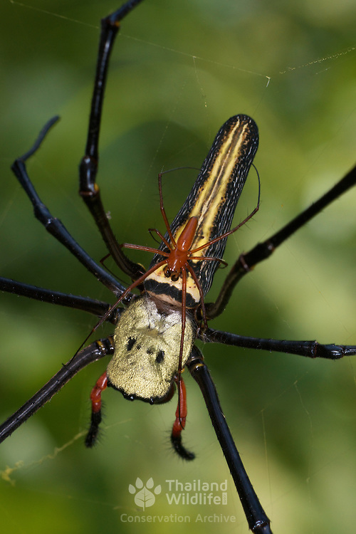 Male and Female Golden Orb web spider, Nephila maculata. The male can be seen on the back of the much larger female.