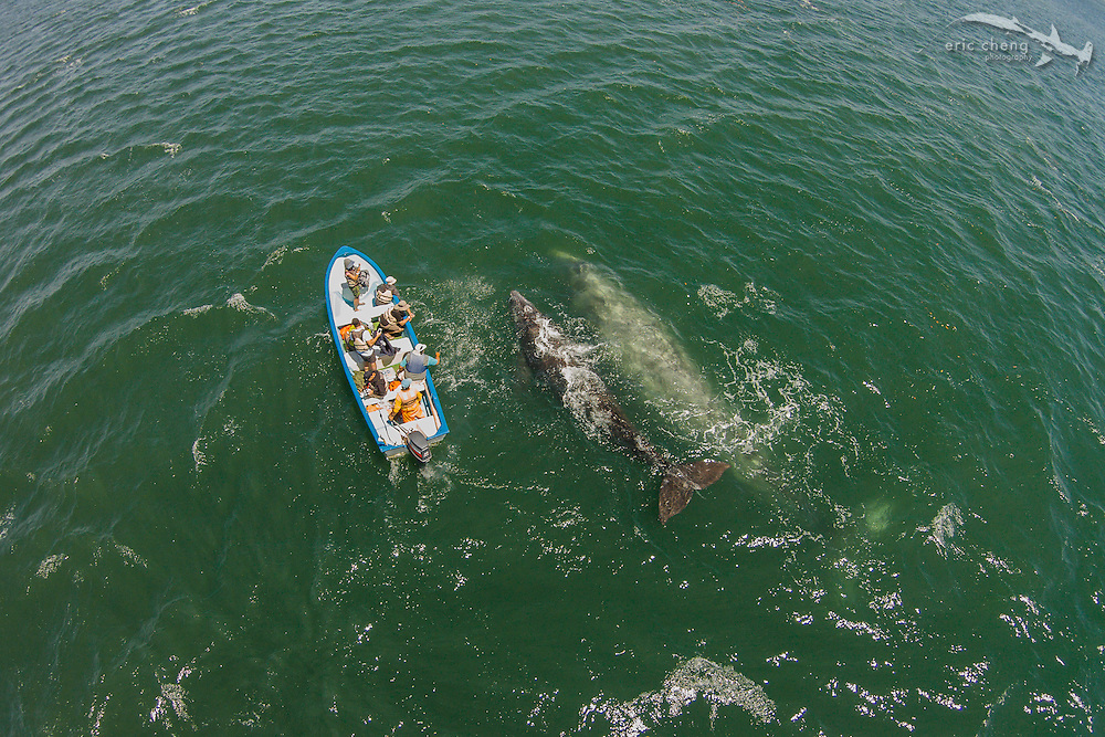 Aerial view of a gray whale (Eschrichtius robustus) mother and calf at San Ignacio Lagoon in Baja Mexico. At the lagoon, whales love to come to the little tourist pangas to be rubbed. Super amazing experience. Laguna San Ignacio, Baja California, Mexico
