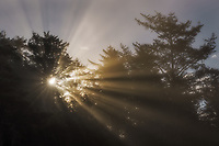 Warm light rays streaming through coastal fog at sunrise, Olympic National Park, WA, USA
