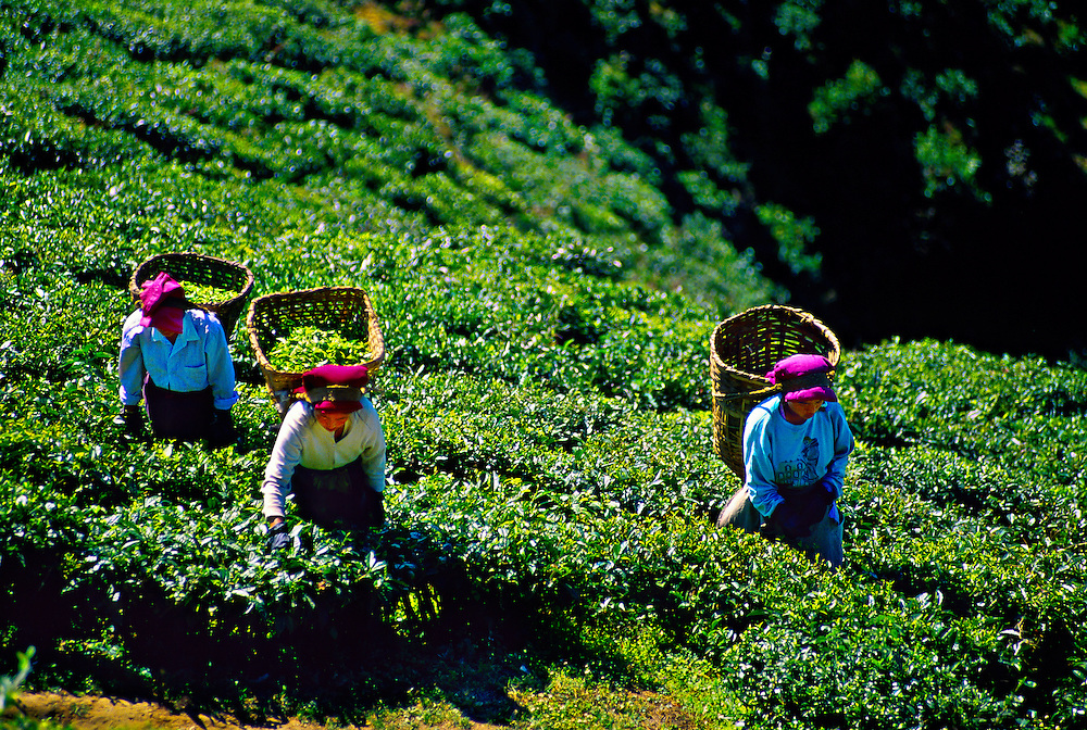 Women picking tea leaves, Happy Valley Tea Estate, Darjeeling, West Bengal, India