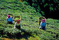 Women picking tea leaves, Happy Valley Tea Estate, Darjeeling, West Bengal, India