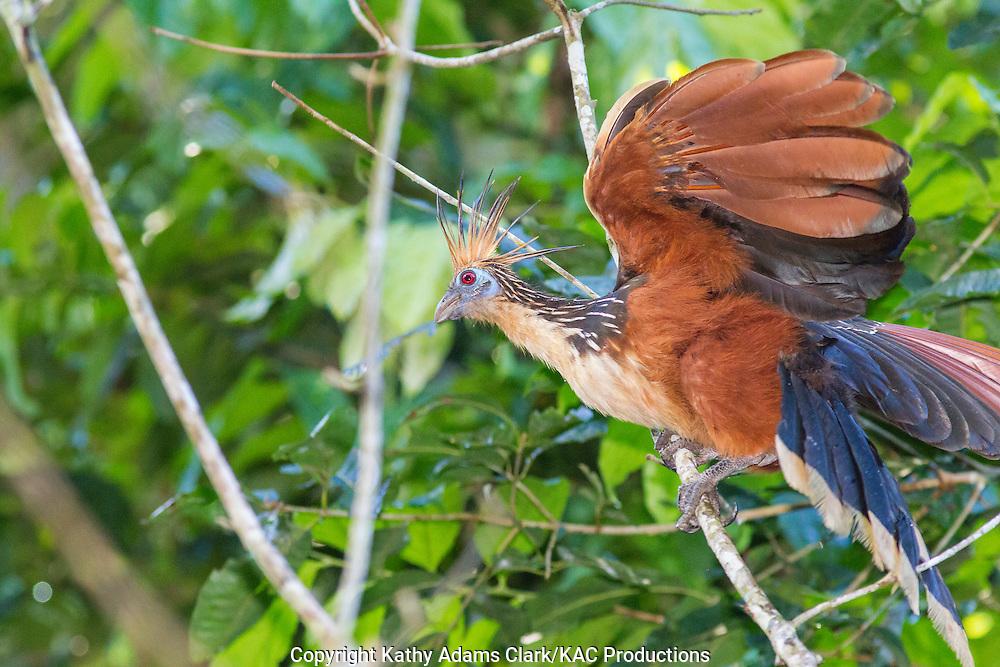 Hoatzin; Opisthocomus hoazin; Inkaterra Amazonia; Lake Sandoval; Madre de Dios River; Peru; Reserva Ecologica Inkaterra; Tambopata National Reserve