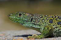 Ocellated lizard, Lacerta lepida<br /> Campanarios de Az&aacute;ba reserve<br /> Salamanca district, Castilla y Le&oacute;n, Spain