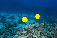 Bluecheek butterflyfish-Poisson papillon jaune (Chaetodon semilarvatus) of Red Sea, Egypt.
