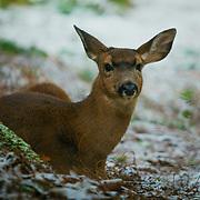 Deer reclining near tree - Point Defiance, Tacoma, WA