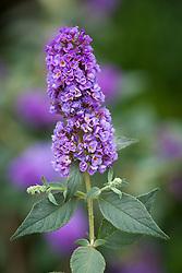 Buddleja 'Blue Chip'. Butterfly bush