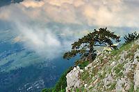 European Black Pine (Pinus nigra), Pollino National Park, Italy; WWoE Mission