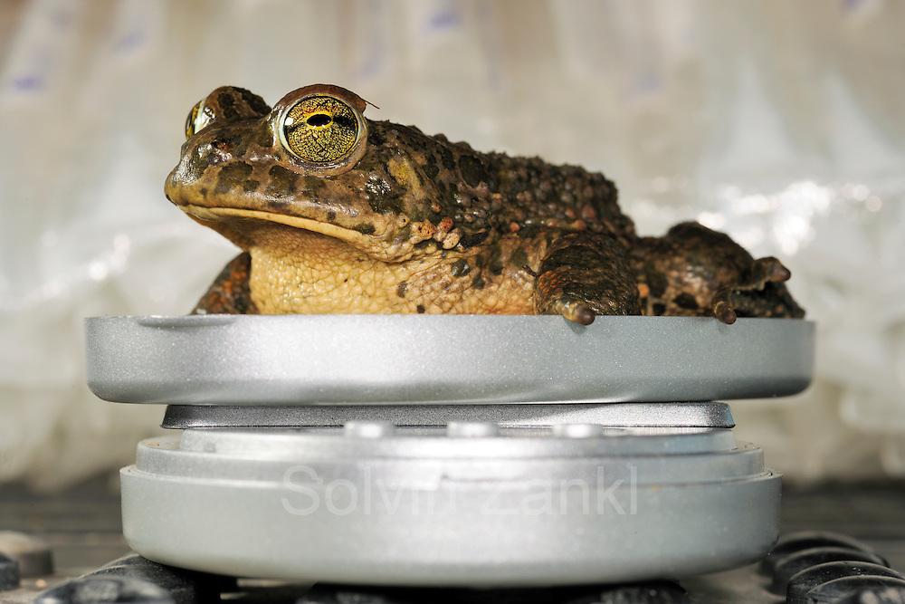 [captive] Green toads (Bufo viridis) on scale, Lake Coghinas (Italian: Lago di Coghinas) is an artificial lake, in northern Sardinia, Italy | Die am Ufer des Lago del Coghinas gefangene Wechselkröte, auch Grüne Kröte genannt (Bufo viridis, syn. Epidalea viridis), wird vermessen und gewogen.