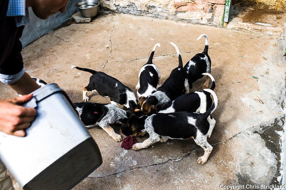Abbotrule, Bonchester Bridge, Hawick, Scotland, UK. 9th July 2015. Huntsman Johnny Richardson feeds hound pups (from the bitch 'Dewdrop') mincemeat.