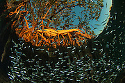 Red Mangrove (Rhizophora mangle) &amp; Fish. Important fish nursery.<br /> BELIZE, Central America