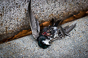 The corpse of a tree swallow is sprawled across the sidewalk in front of the U.S. Department of Interior on Sunday, March 19, 2017 in Washington. Up to a billion birds die annually due to window strikes, contributing in part to the yearly decline of migratory bird populations.