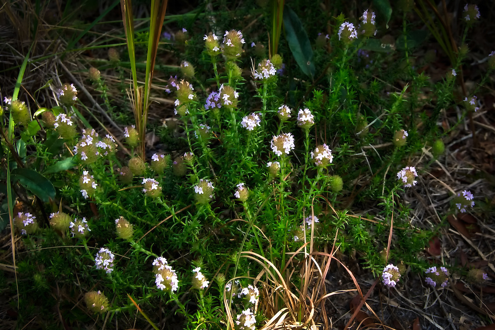 Wild pennyroyal grows almost everywhere in SW Florida that is dry and sandy - particularly around palmettos. It also makes a wonderful tea!