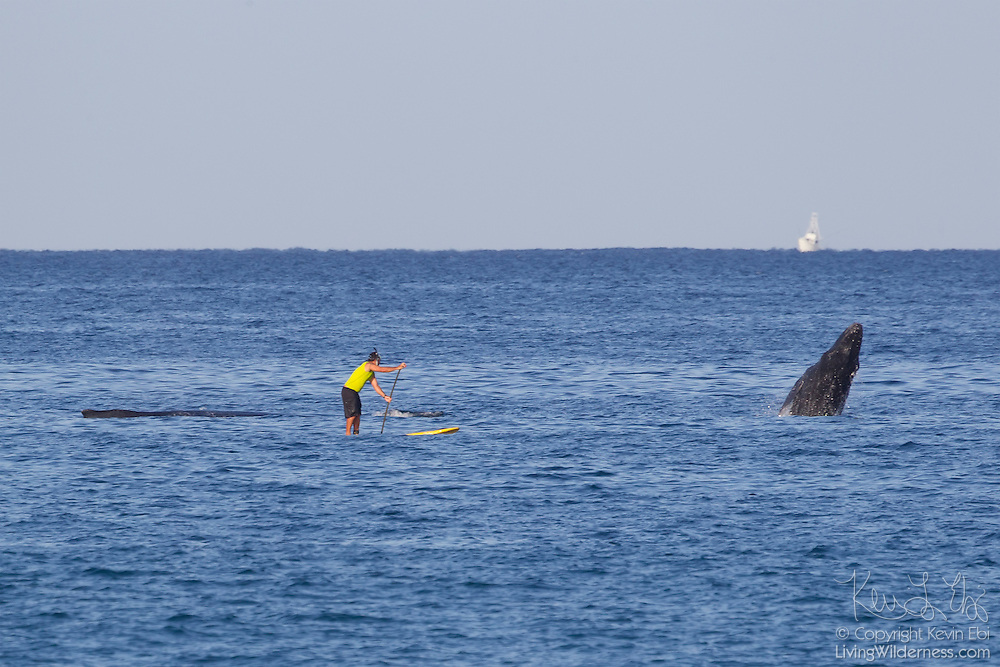 A Hawaiian man paddleboards next to one humpback whale (Megaptera novaeangliae) as another one breaches near Makena on the island of Maui, Hawaii.