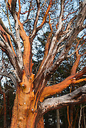 Pacific Madrone or Madrona (Arbutus menziesii), San Juan Island, Washington.