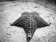 a cushion star in spooky channel, Roatan, Honduras.