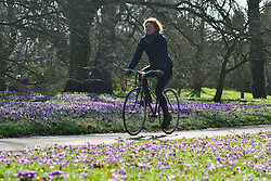 © Licensed to London News Pictures. 21/02/2014. Kew , UK . A woman cycles throughout the colourful flowers. People walk through the spring crocus at Kew Garden's Surrey today 21 February 2014. Photo credit : Stephen Simpson/LNP