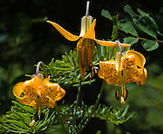 "The Tiger Lily or Columbia lily (Lilium columbianum) is native to western North America. Photo from Granite Mountain Trail, Alpine Lakes Wilderness Area, Washington, USA. Published in ""Light Travel: Photography on the Go"" book by Tom Dempsey 2009, 2010."