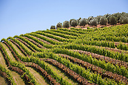 Vineyards and olive trees on a hillside, Franschhoek Valley, South Africa. http://www.gettyimages.com/detail/photo/vineyards-and-olive-trees-south-africa-royalty-free-image/97936150