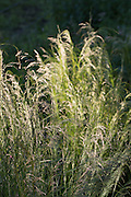 Ornamental grasses in The Cotswolds, Oxfordshire, UK
