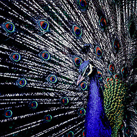 A Blue Peafowl displaying his stiff and elongated feathers, raised into the famous fan. Courtship?