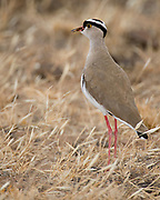 Crowned Lapwing, Vanellus coroinatus, from Samburu NP, Kenya.