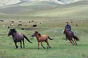 TERELJ, MONGOLIA..09/04/2001.Horses and Mongolian cowboy..(Photo by Heimo Aga)