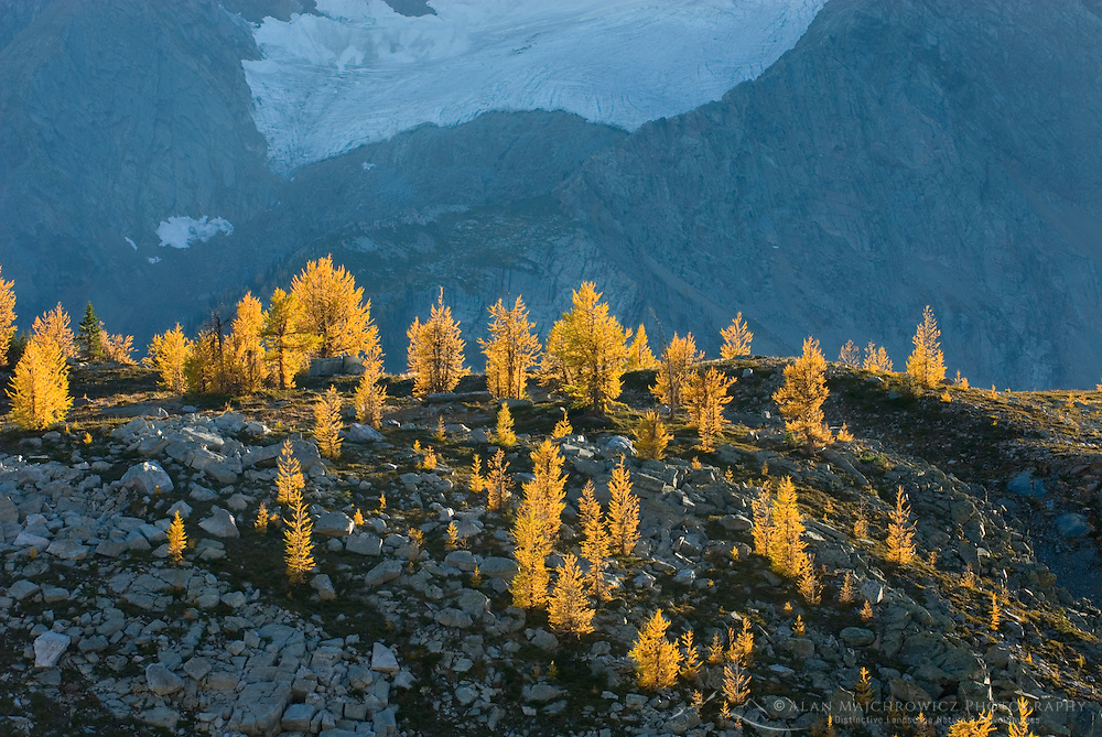 Alpine larches (Larix lyallii) in autumn foliage are lit by the evening sun on slopes of the Purcell Mountains British Columbia