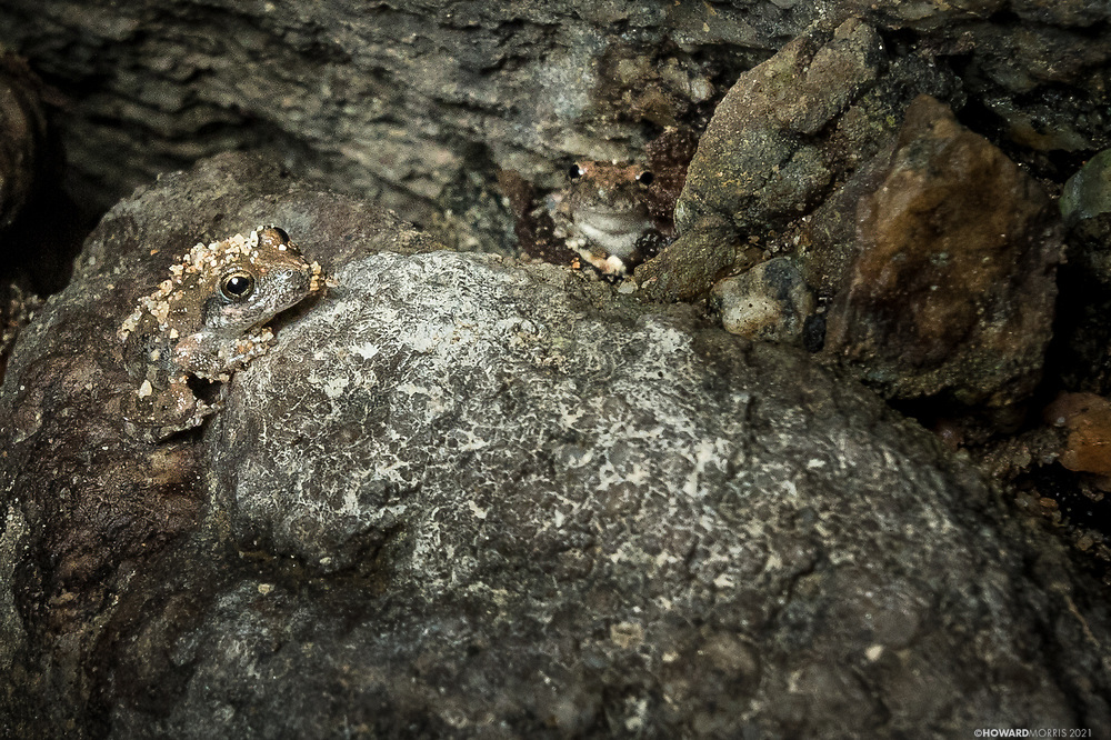 A pair of tiny California tree frogs (Pseudacris cadaverine), camouflaged against the granite rocks in an alcove. Almost invisible, they are the perfect coloration for hiding in sand and rock. Altadena, California.