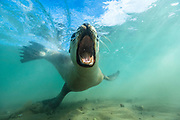 A boisterous New Zealand sea lion pup invites play by snapping its teeth then darting away.  Playful interactions are theorized to serve a role in honing a young animal's stress response, as well as fostering brain growth.  But the hours spent exploring the ocean come at a cost – squid trawling nets and plastic pollution increasingly threaten this endangered species.