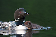 Common Loon Chicks