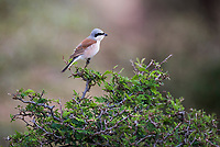 Male Red-Backed Shrike, Marataba Private Game Reserve, Limpopo, South Africa