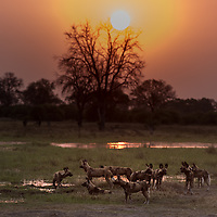 Wild Dogs - Endangered But Thriving