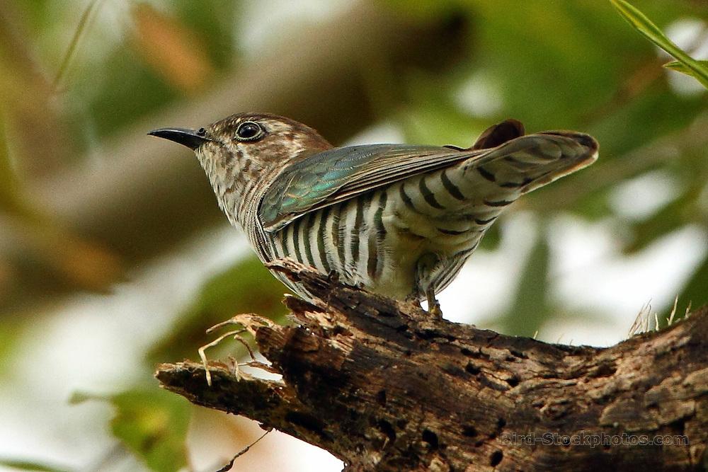 Shining Bronze Cuckoo, Chrysococcyx lucidus, Papua New Guinea, by Markus Lilje