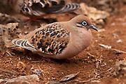 A galapagos dove (Zenaida galapagoensis), Santa Cruz Island, Galapagos Archipelago - Ecuador.